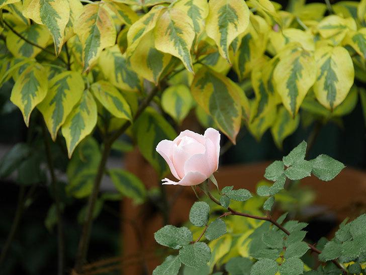 ダフネ(半ツルバラ)の花が増えてきた。2020年-8.jpg