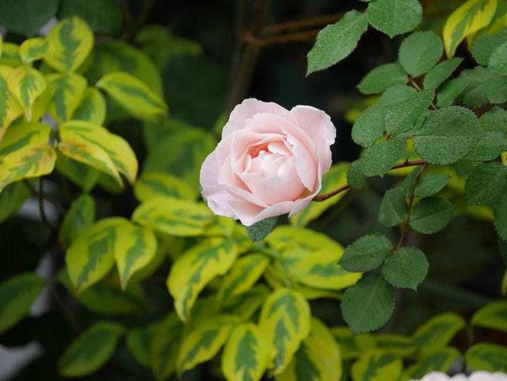 ダフネ(半ツルバラ)の花が増えてきた。2020年-9.jpg