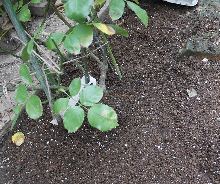 ダフネ(半ツルバラ)を地植えにした。2019年-19.jpg