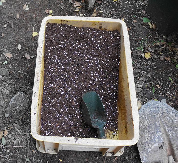 ダフネ(半ツルバラ)を地植えにした。2019年-9.jpg