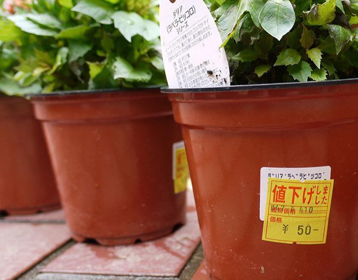 ダリア-ラベラ・ピッコロがホームズで50円だったので3個買ってきた4.jpg