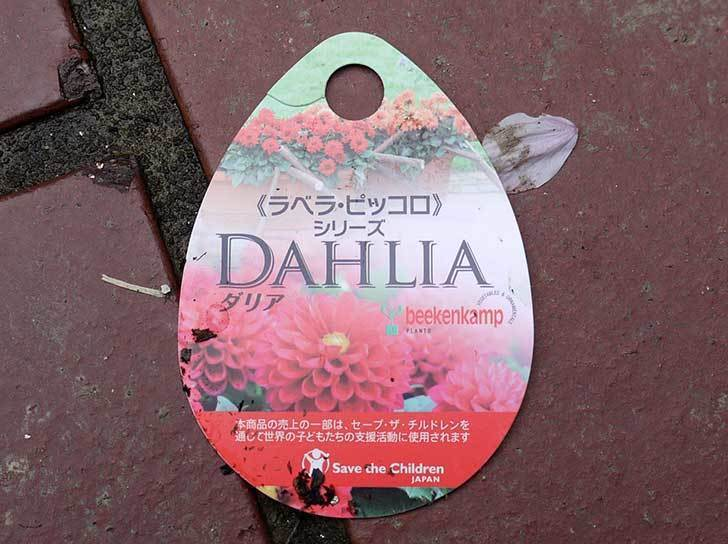 ダリア-ラベラ・ピッコロがホームズで50円だったので3個買ってきた6.jpg