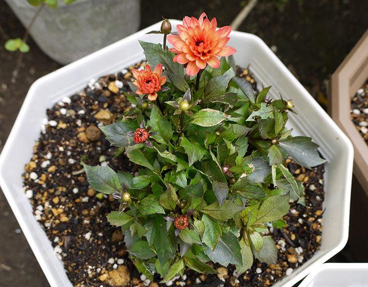 ダリア-ラベラ・ピッコロのオレンジが咲いた2.jpg