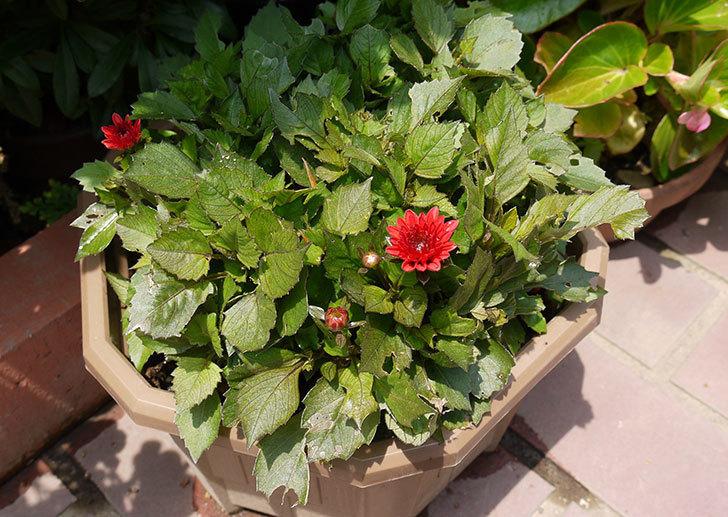ダリア-ラベラ・ピッコロの赤が咲いた2.jpg