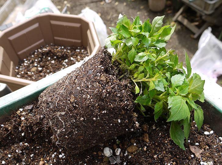 ダリア-ラベラ・ピッコロを鉢に植えた1.jpg