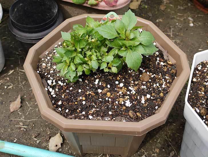 ダリア-ラベラ・ピッコロを鉢に植えた2.jpg