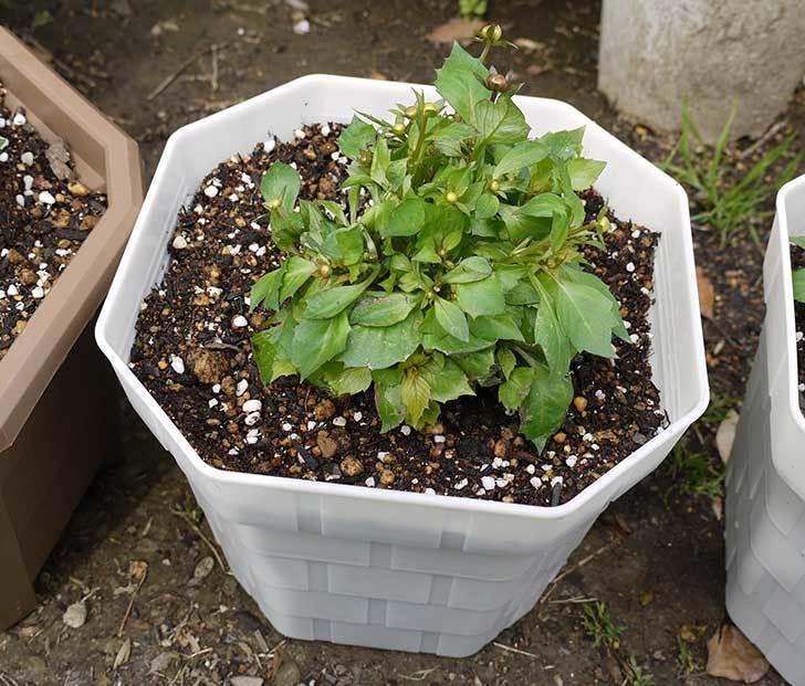 ダリア-ラベラ・ピッコロを鉢に植えた3.jpg