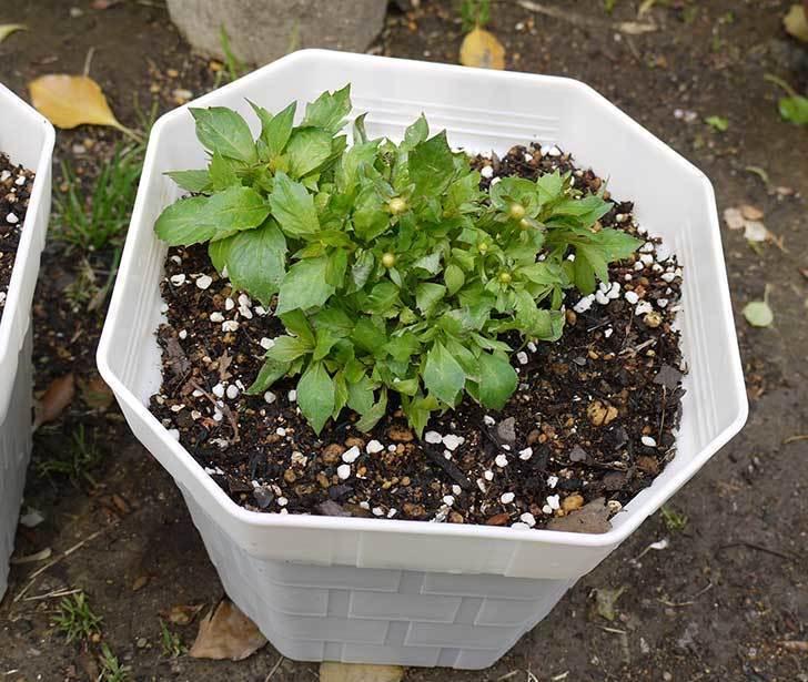 ダリア-ラベラ・ピッコロを鉢に植えた4.jpg