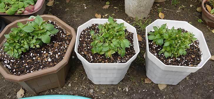 ダリア-ラベラ・ピッコロを鉢に植えた5.jpg