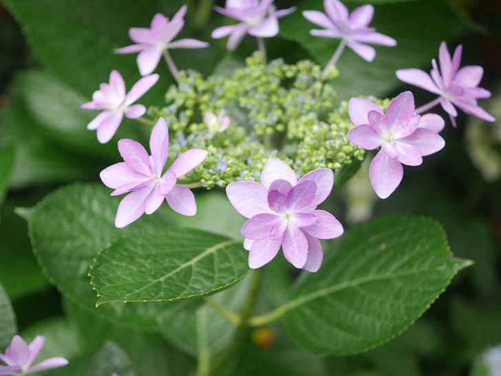 ダンスパーティーの花が綺麗に咲いた。2021年-010.jpg