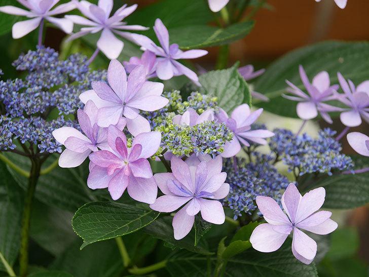 ダンスパーティーの花が綺麗に咲いた。2021年-059.jpg
