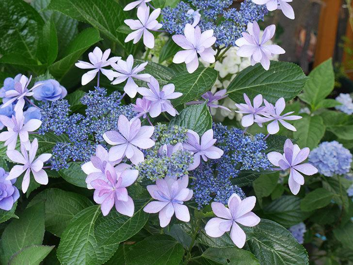 ダンスパーティーの花が綺麗に咲いた。2021年-066.jpg