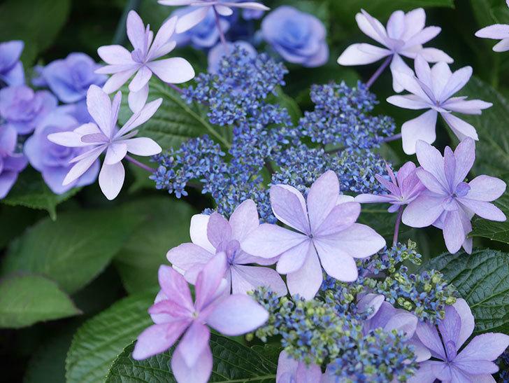 ダンスパーティーの花が綺麗に咲いた。2021年-070.jpg