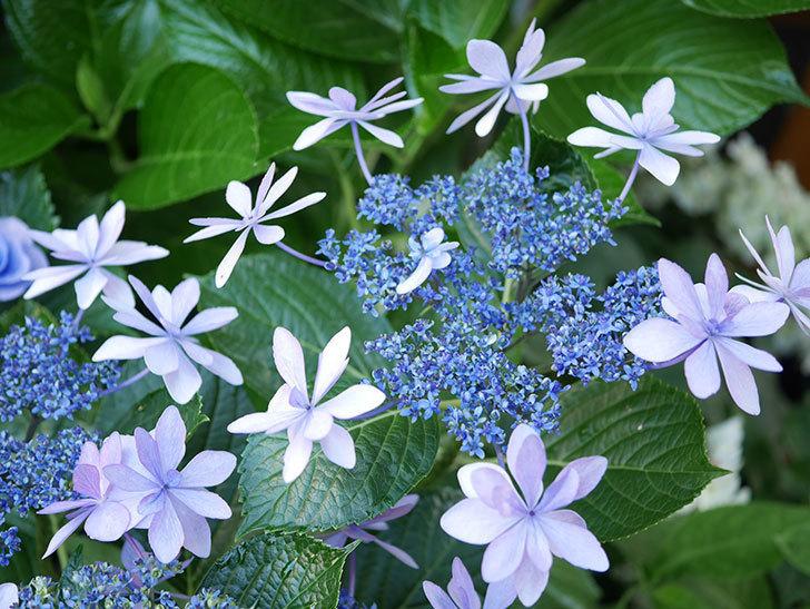 ダンスパーティーの花が綺麗に咲いた。2021年-077.jpg