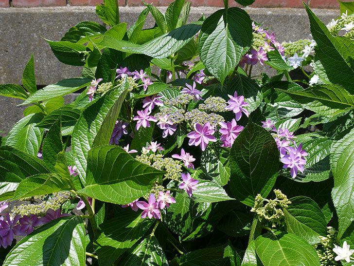 ダンスパーティー(アジサイ)の花が増えてきた。2017年-5.jpg