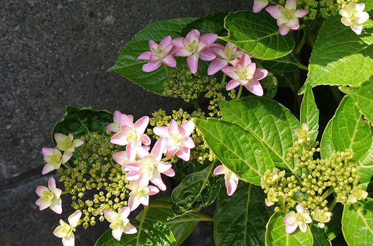 ダンスパーティー(アジサイ)の花が少し咲いた。2015年-1.jpg