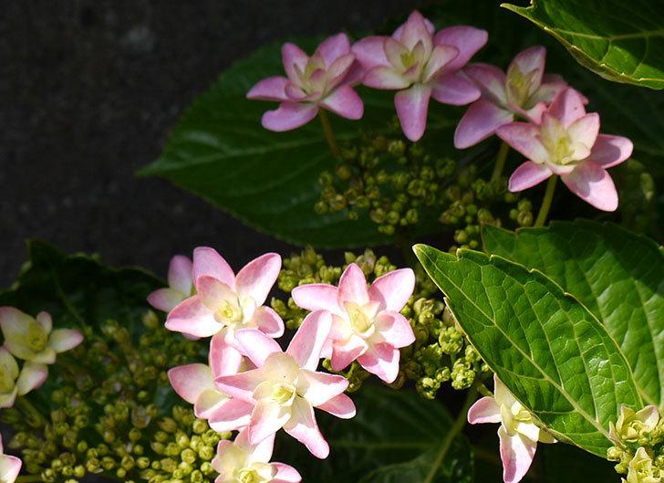 ダンスパーティー(アジサイ)の花が少し咲いた。2015年-2.jpg