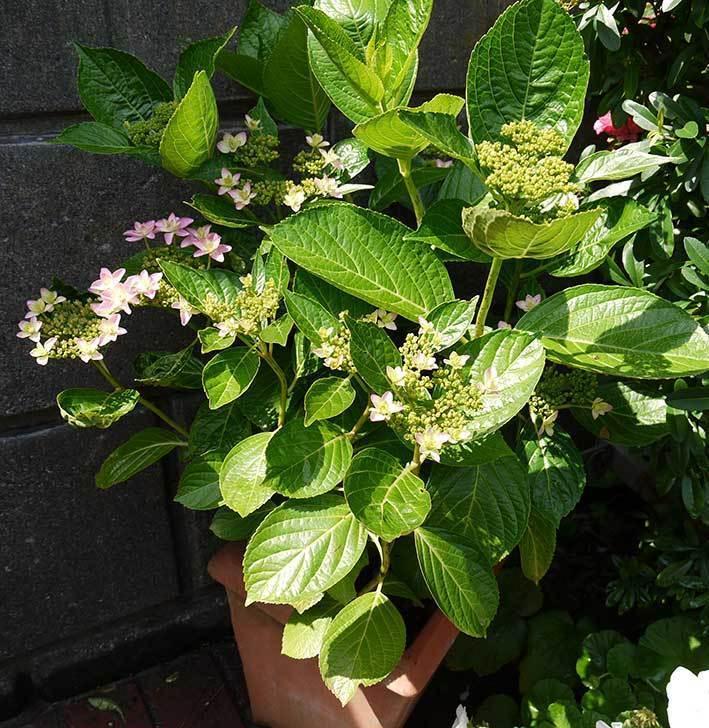 ダンスパーティー(アジサイ)の花が少し咲いた。2015年-3.jpg