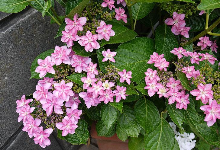 ダンスパーティー(アジサイ)の花が綺麗に咲いた。2015年-1.jpg