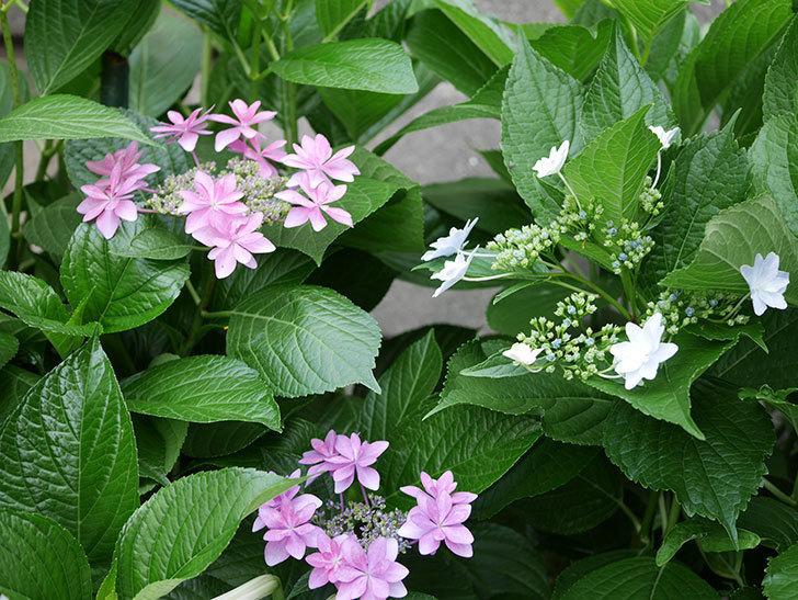 ダンスパーティー(アジサイ)の花が綺麗に咲いた。2019年-5.jpg