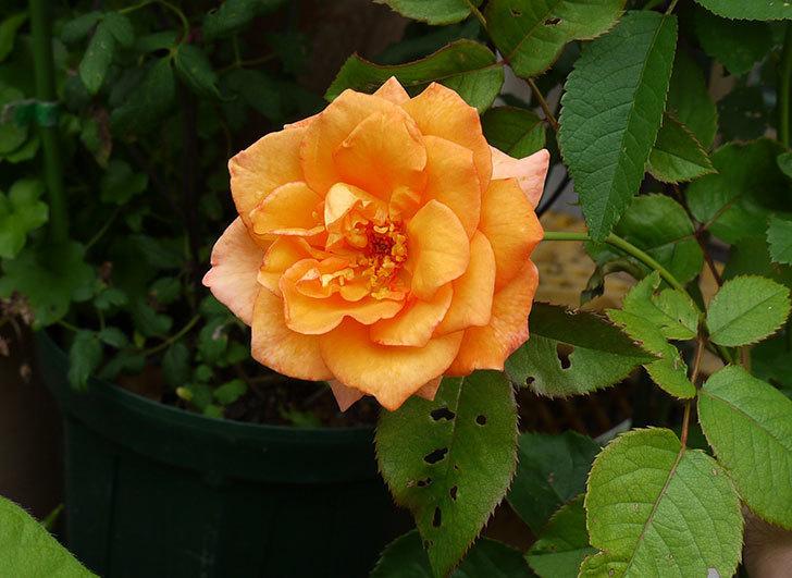 チアガール(バラ)が咲いた1.jpg