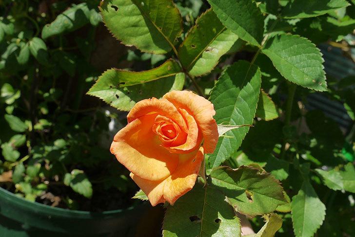 チアガール(バラ)が咲いた2.jpg