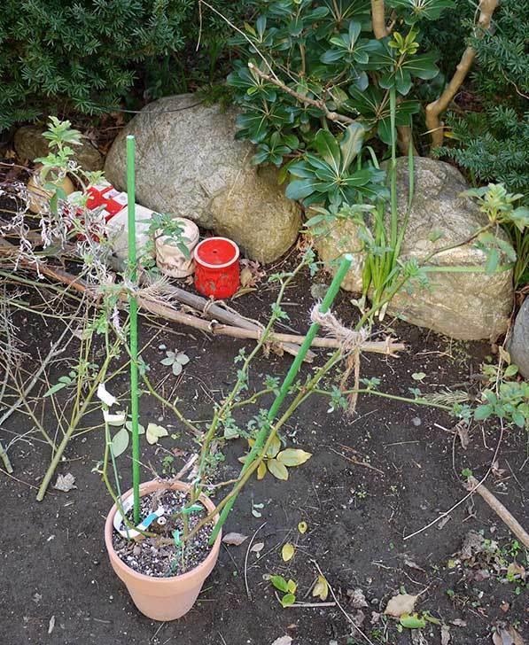 チアガール(バラ)の植え替えと剪定をした。2016年-2.jpg