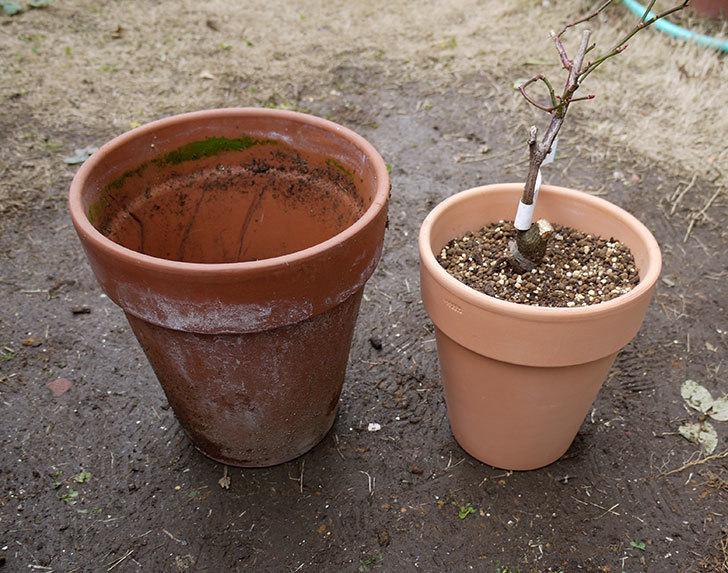 チアガール(バラ)を一回り小さい6号鉢に植え替えた1.jpg