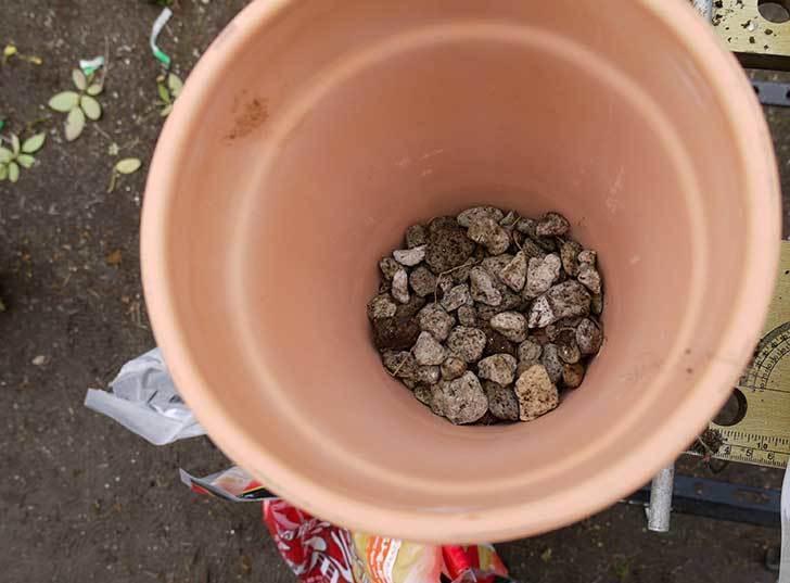 チアガール(バラ)を一回り小さい6号鉢に植え替えた10.jpg