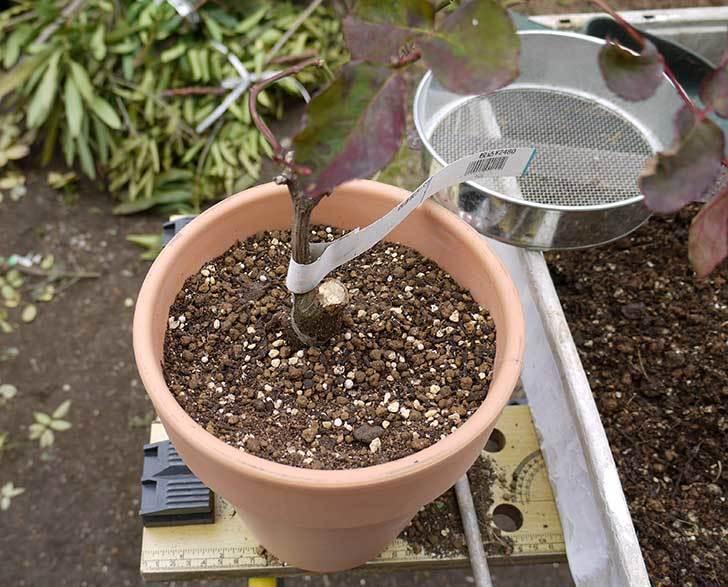 チアガール(バラ)を一回り小さい6号鉢に植え替えた11.jpg