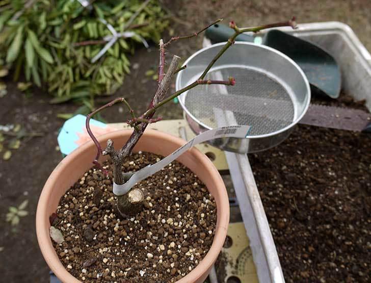 チアガール(バラ)を一回り小さい6号鉢に植え替えた12.jpg