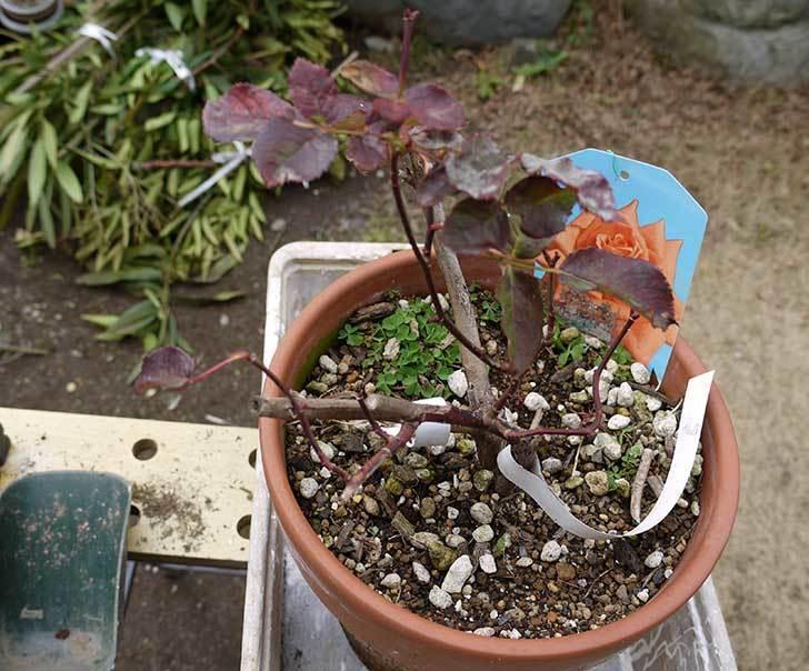 チアガール(バラ)を一回り小さい6号鉢に植え替えた2.jpg