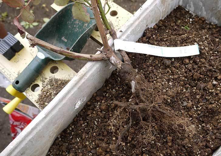 チアガール(バラ)を一回り小さい6号鉢に植え替えた7.jpg
