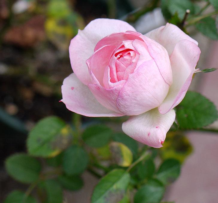チュチュオプティマ(ミニバラ)がまだ綺麗に咲く。2016年-1.jpg