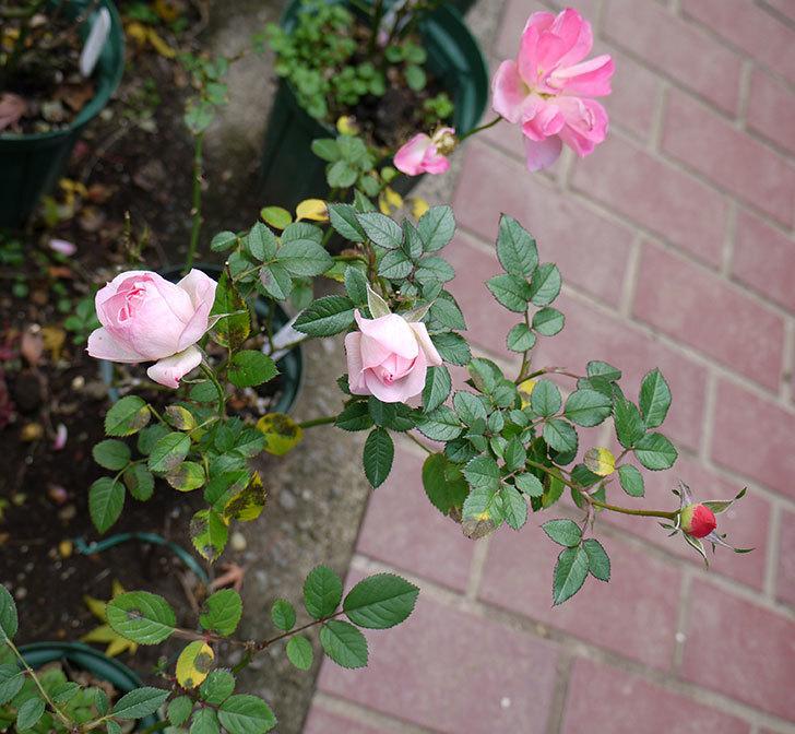 チュチュオプティマ(ミニバラ)がまだ綺麗に咲く。2016年-5.jpg