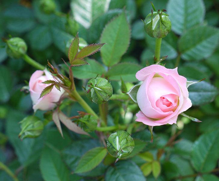チュチュオプティマ(ミニバラ)が咲いた。2017年-1.jpg