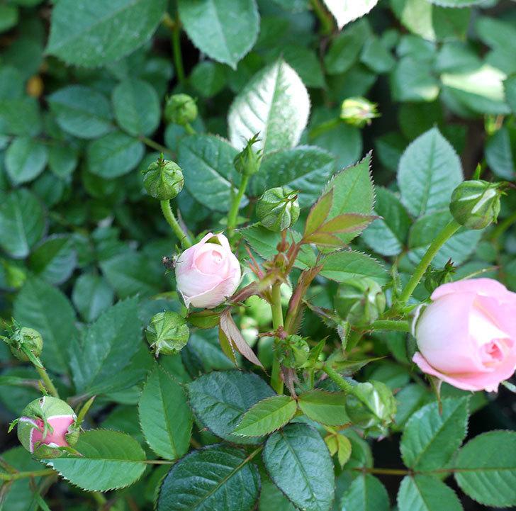 チュチュオプティマ(ミニバラ)が咲いた。2017年-3.jpg