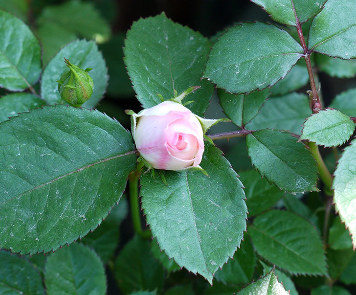 チュチュオプティマ(ミニバラ)が咲いた。2017年-4.jpg