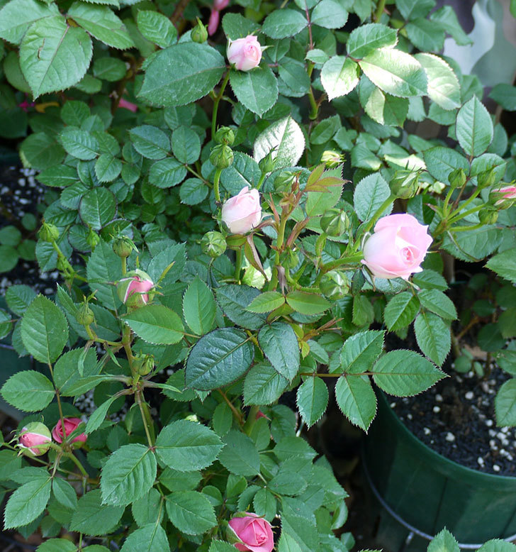 チュチュオプティマ(ミニバラ)が咲いた。2017年-5.jpg