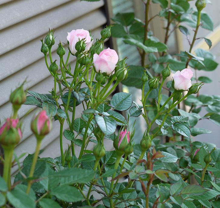 チュチュオプティマ(ミニバラ)が咲いた。2017年-6.jpg