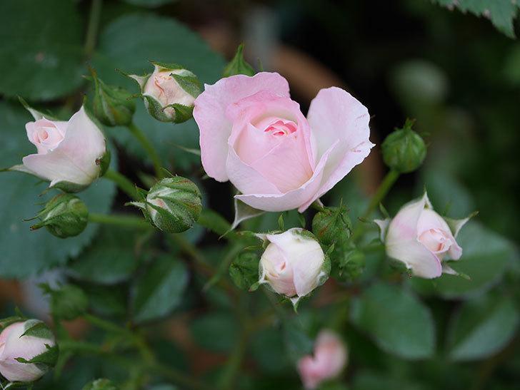 チュチュオプティマ(ミニバラ)が咲きだした。2018年-1.jpg
