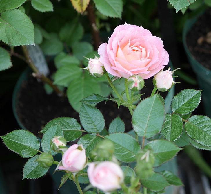 チュチュオプティマ(ミニバラ)が咲きだした。2018年-10.jpg