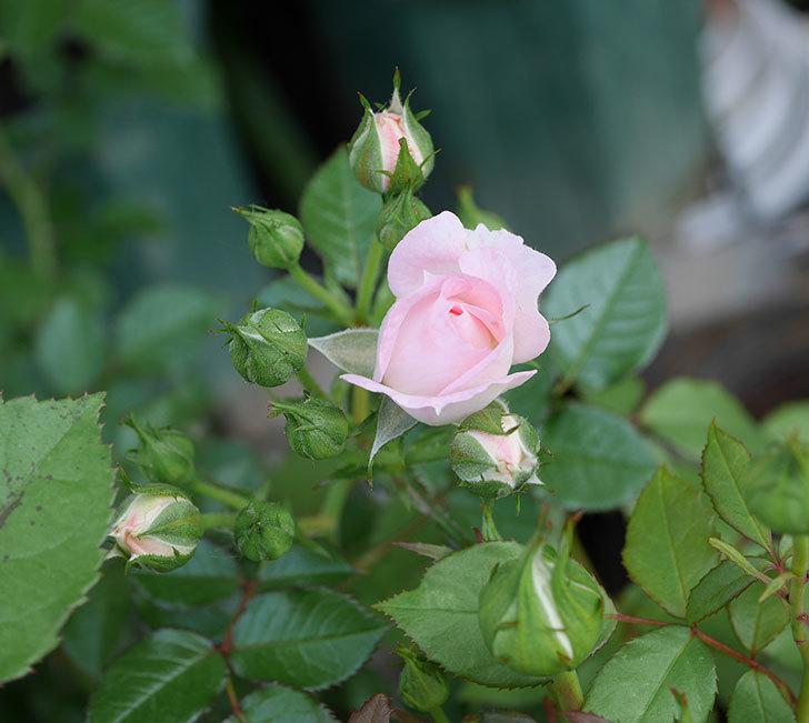 チュチュオプティマ(ミニバラ)が咲きだした。2018年-11.jpg