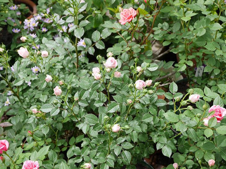 チュチュオプティマ(ミニバラ)が咲きだした。2018年-12.jpg