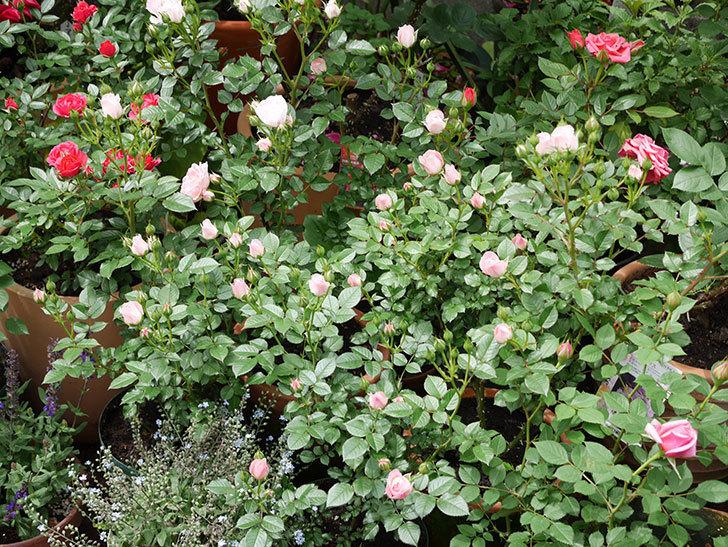 チュチュオプティマ(ミニバラ)が咲きだした。2018年-13.jpg