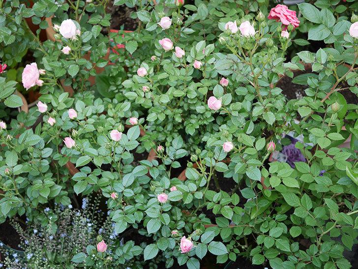 チュチュオプティマ(ミニバラ)が咲きだした。2018年-3.jpg