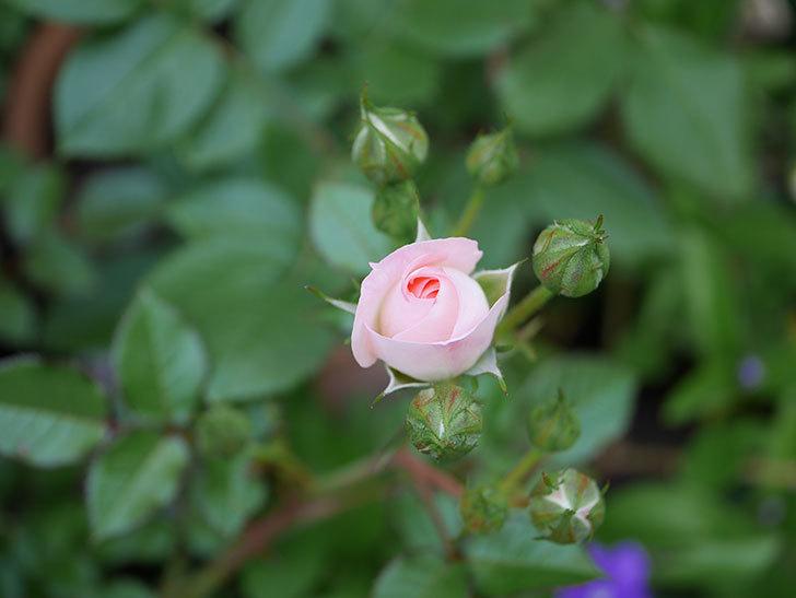 チュチュオプティマ(ミニバラ)が咲きだした。2018年-4.jpg