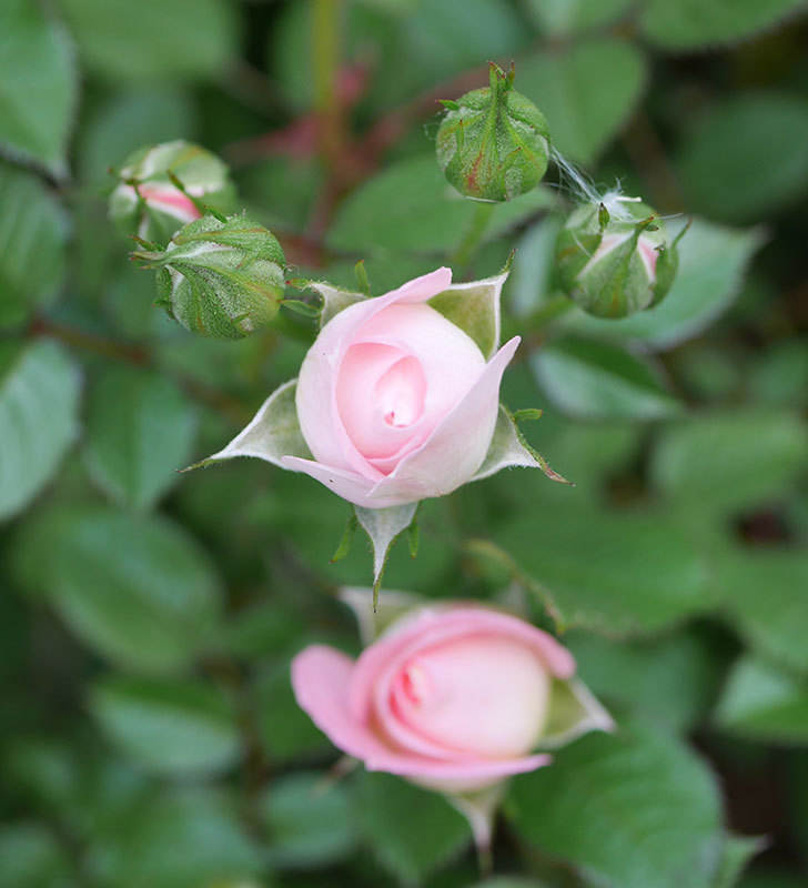 チュチュオプティマ(ミニバラ)が咲きだした。2018年-5.jpg
