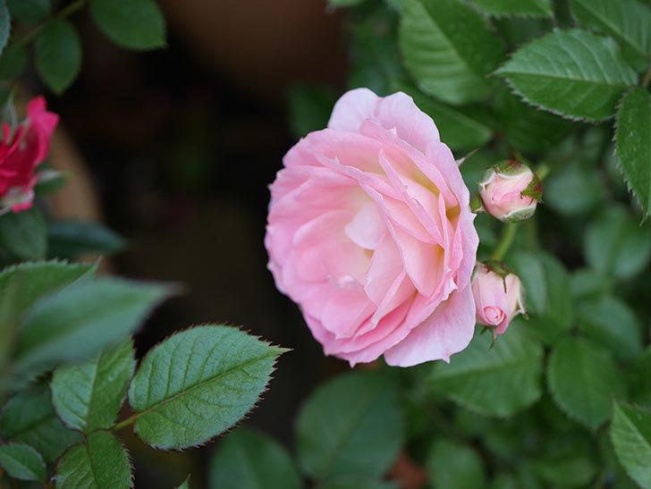 チュチュオプティマ(ミニバラ)が咲きだした。2018年-7.jpg