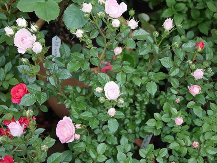 チュチュオプティマ(ミニバラ)が咲きだした。2018年-8.jpg
